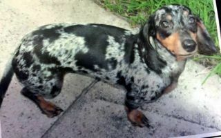 Pin By The Wooden Frog On Dachshunds Dachshund Dachshund Adoption Dachshund Mix