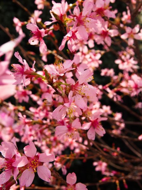 Prunus x 'Okame'                         OKAME FLOWERING CHERRY            deciduous flowering tree                  full sun                                     Mature size: 15'Hx20'W  Upright branching oval  Early spring bloom                      Small clear pink profuse flowersFOLIAGE: Dark green fine textureFALL COLOR: Dark red-orangeBronze red bark                      Does well in heavy clay              Moist well drained soil