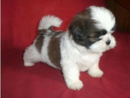 Stunning Shih Tzu Puppies For Sale Dogs Puppies For Sale With
