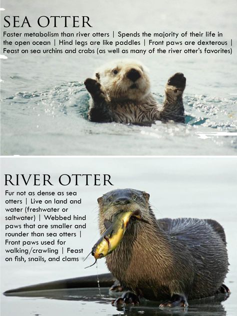 You otter know: the difference between sea otters and river otters.
