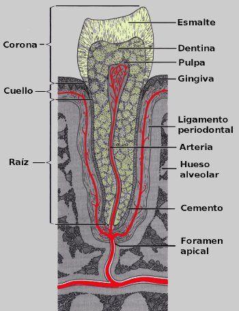 Estructura Del Diente Dolor De Dientes Estomatología Y