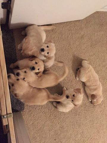Golden Retriever Puppy For Sale In Colorado Springs Co Adn 57175