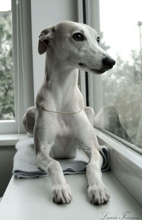 Pin By Maria Hurskainen On Whippets Grey Hound Dog Dogs Whippet Puppies
