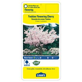 3 25 Gallon Multicolor Yoshino Flowering Cherry Flowering Tree In Pot L3234 Lowes Com Potted Trees Flowering Trees Yoshino Cherry
