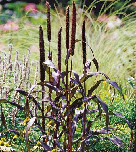 Pennisetum glaucum  Growing Conditions: Full sun or part shade and well-drained soil  Size: To 5 feet tall  Zones: Annual  Plant This Grass Because: It has rich purple foliage.