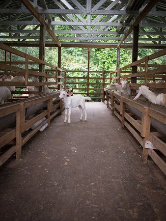 Picture Of Saanen Dairy Goat Farm Goat Farming Dairy Goats