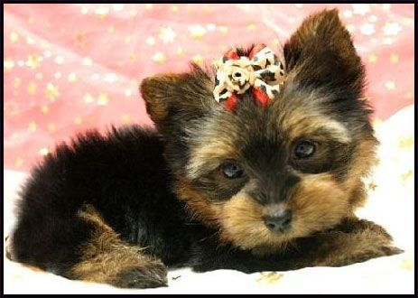 Yorkie Puppies For Sale Yorkiepuppyforsalenearme Puppy Yorkie Yorkie Puppy For Sale Yorkie Puppy Puppies For Sale