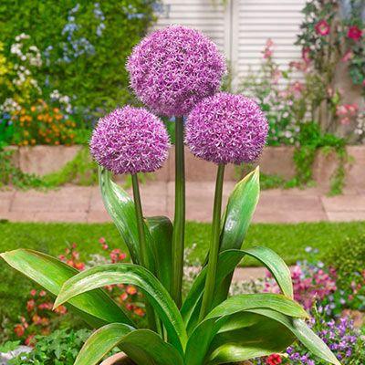 Allium Party Balloons K Van Bourgondien Bulbs Perennials In 2020 Planting Bulbs Allium Flowers Showy Flowers