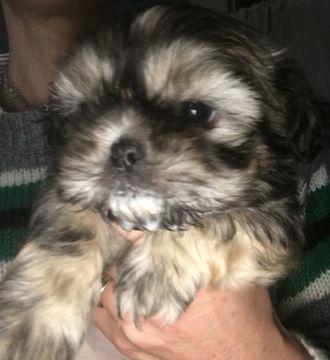 Shih Tzu Puppy For Sale In Antrim Nh Adn 69529 On Puppyfinder Com Gender Female Age 7 Weeks Old Shih Tzu Puppy Shih Tzu Puppies For Sale
