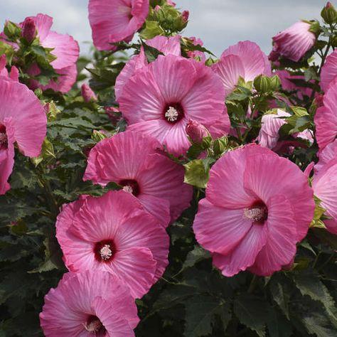 Airbrush Effect Perennial Hibiscus, Hardy Hibiscus
