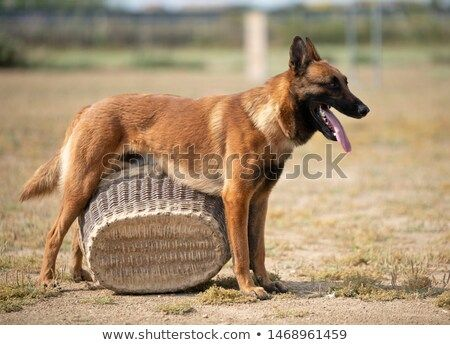 Stock Photo Training Of Police Dog With Assailant In Nature Buy Pets Online Pet Supplies Pets