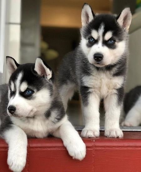 Thng Akc Registered Siberian Husky Puppies Husky Puppy Yorkie Puppies For Adoption Yorkie Puppy