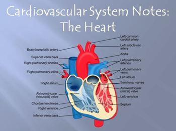 Cardiovascular System Heart Structures Powerpoint Presentation