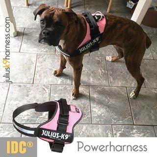 Boxer Gracie With Her New Julius K9 Harness Juliusk9harnesscom