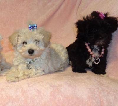 Maltipoo Puppy Toy Poodle Puppies