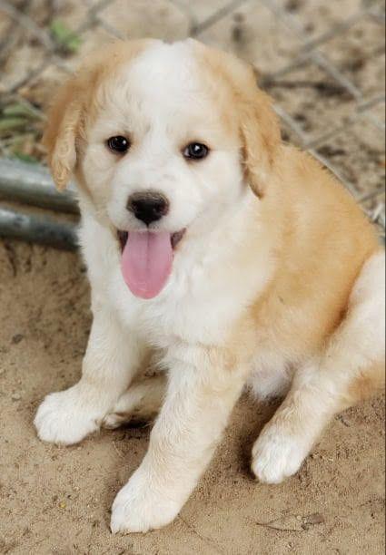 Adopt Magick On Dogs Golden Retriever Mix Pet Adoption