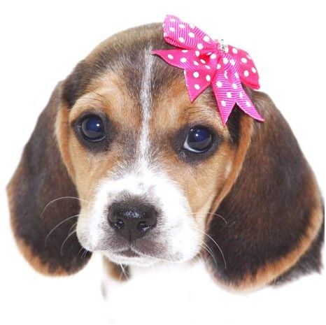 Pocket Beagle Puppies For Sale Bc Thebeaglebarn Com Home Phoebe One Of Our Pocket Beagles Looking Dejected Poogle Pu In 2020 Pocket Beagle Cute Beagles Beagle Puppy