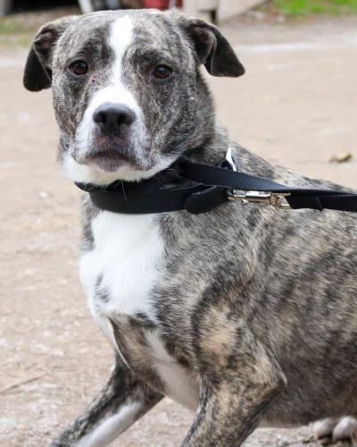 Freeport Fl Meet Duke A Male American Bulldog Looking For A