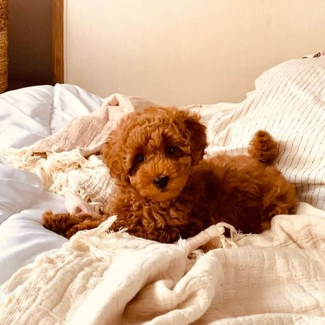"""🐾Coco🐾 on Instagram: """"🤎🐾🤎🐾🤎 #dogscantalk #puppytalk #puppyuk #puppiesofinstagram #toypoodle #toypoodlesofinstagram #cutepuppies #coco_ice_rose_moulin_rouge"""""""