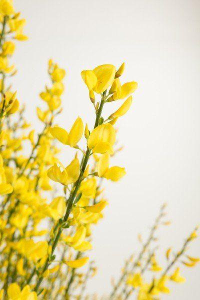 Gelb Bluhender Elfenbein Ginster Kaufen Garten Von Ehren Beste Qualitat Seit 1865 Gunstige Preise Riesenauswahl Pflanzen Ziergeholze Roter Eukalyptus