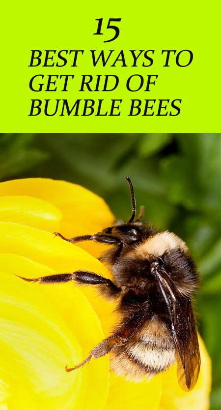 15 Natural Ways To Get Rid Of Bumble Bees Bumble Bee Nest Natural Bee Repellent Bee