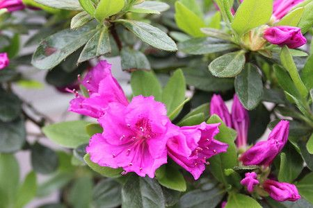 Lubera Japanische Azalee Konigstein Pflanze Im 2 L Topf 15 20 Cm Azaleen Pflanzen Blumen