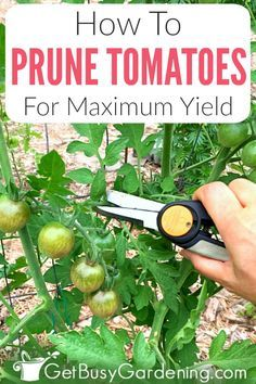 If your tomato plants become overgrown and tall every summer, but don't produce much fruit, then it's time to bring out your pruning shears. Getting into the habit of trimming tomato suckers and leaves. Prune, Tomato Pruning, Veggie Garden, Planting Herbs, Tomato Garden, Garden Care, Trellis Plants, Tomato Plant Trellis, Tomato Plants Support