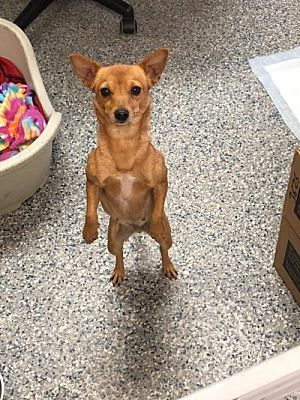 Oakhurst Nj Chihuahua Meet Noelle Needs A Foster A Pet For
