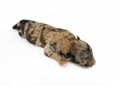 Merle Male Mini Aussiedoodle Aussiepoo Puppy Mix San Jose Puppies
