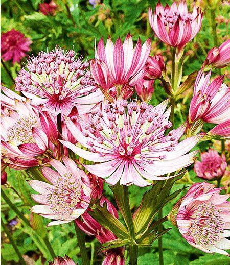 Ein Dauerbluher Im Staudenbeet Astrantia Sparkling Stars Pink Jetzt Im Mein Schoner Garten Shop Bestell Staudenbeet Schattenpflanzen Winterharte Stauden