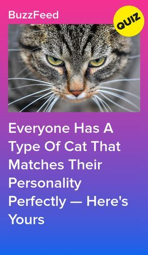 Everyone Has A Cat Breed That Matches Their Personality Here S Yours With Images Animal Quiz Quizzes For Fun Dog Quiz