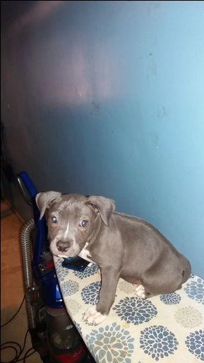 American Bully Puppy For Sale In Detroit Mi Adn 40585 On
