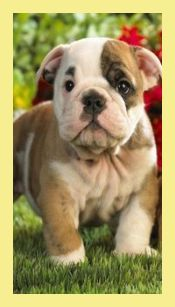 It Is Recommended To Select A Bulldog Young Puppy From Moms And Dads Of A Less Extreme Type The Uk Kennel Club Really Cute Puppies Bulldog Puppies Bulldog