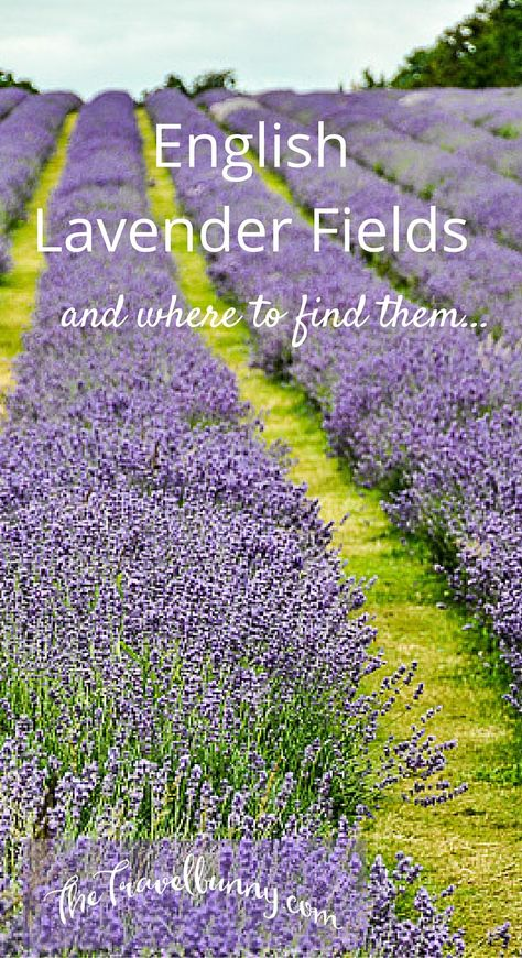 Visiting and English Lavender Field and a list of lavender field locations in the UK