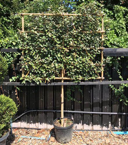 Elaeagnus X Ebbingei Espalier Frame Pleached Tree Indoor Tree
