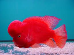 Image result for Super red monkey   Flowerhorn   Beautiful fish