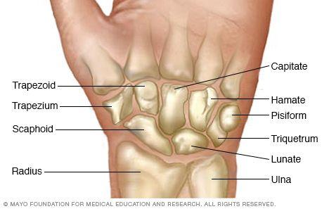 Illustration showing wrist bones