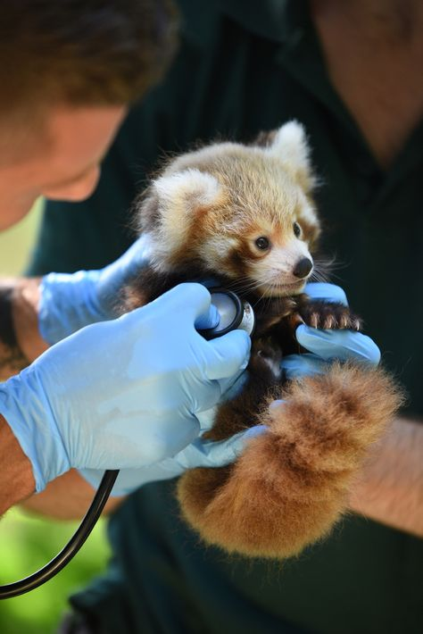 Red panda cub at Perth Zoo gets his first check up Veterinary Surgeon, Veterinary Medicine, Veterinary Technician, Work With Animals, Cute Animals, Vet Pictures, Veterinarian Career, Animal Rescue Center, Wildlife Biologist