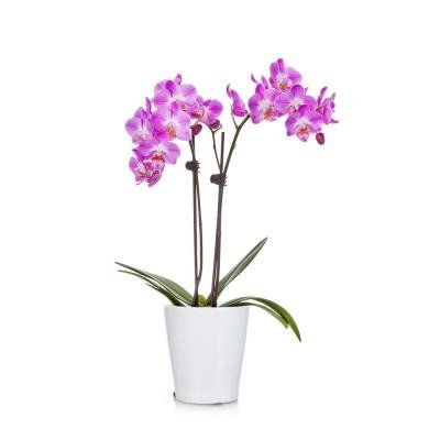 Just Add Ice Blue 5 In Watercolor Orchid Plant In Ceramic Pot 2 Stems 298012 The Home Depot 1000 In 2020 Purple Plants Orchid Plants Plants