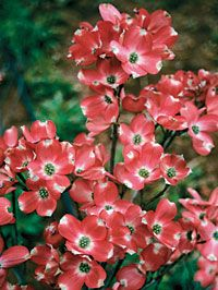 'Red Pygmy' Dogwood - a dwarf, slow growing tree that is 3 ft after 5 years, maturing to 7 ft tall with a 5 ft spread. Produces profuse red flowers even on small trees. Leaves turn shades of orange in fall. Maybe for terraced bed under formal living room.