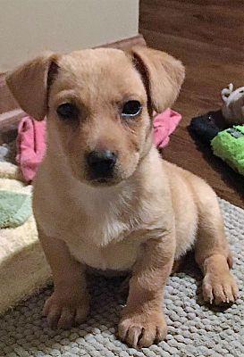 Aurora Il Dachshund Meet Gabby A Pet For Adoption Pet