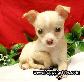 Nyc Puppy Chihuahua Zu Verkaufen Chihuahua Nyc Puppy