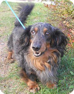 Dachshund Mix Dog For Adoption In Siren Wisconsin Gizmo