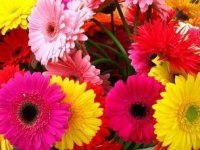 Bulk Mini Gerbera.  Starting at $187.95.  Common Name: Mini Gerbera Daisy, Germini, Mini Gerbera, Transvaal Daisy, Barberton Daisy, Veldt Daisy    Description: Flat faced. Multi-petaled. Daisy-like.