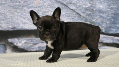 Betsy French Bulldog Puppy For Sale Cute Baby Dogs Puppies