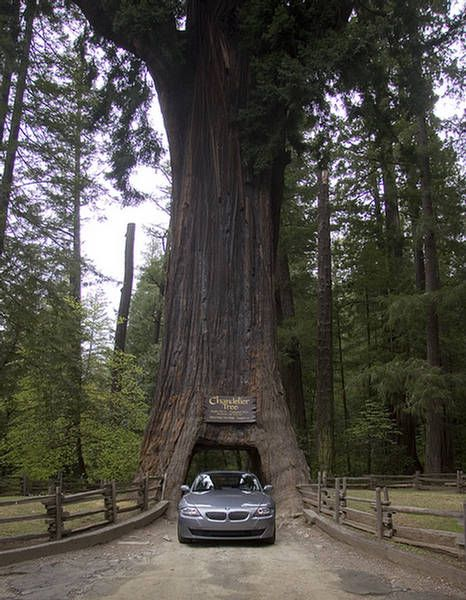 Chandelier Tree in Drive Thru Tree Park, California. We were there ...