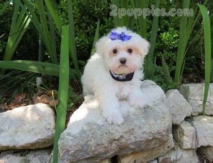 Maltese Dogs For Sale In United States North Carolina Asheboro You Can Also Check Our Dog Directory For More Differ Poodle Puppy Puppies For Sale Dog Breeds