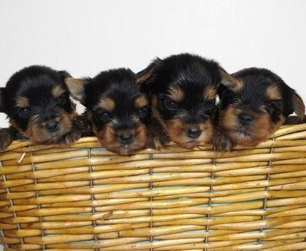 Yorkshire Terrier Puppy For Sale In Vancouver Wa Adn 61035 On