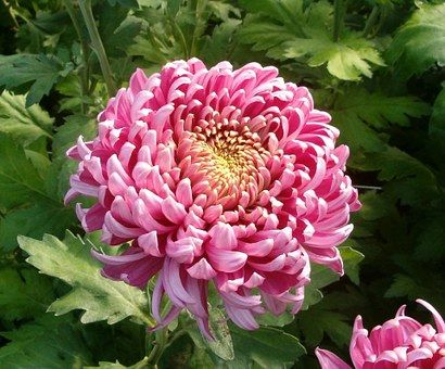 Flower Bloom Blossom Pink Mum Colorfu Chrysanthemum Flower Popular Flowers Chrysanthemum Meaning