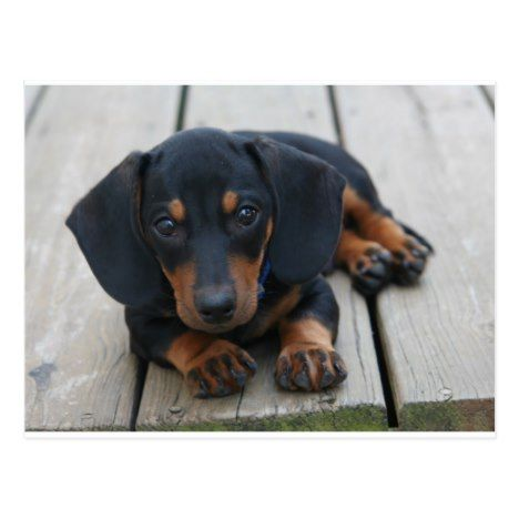 Dachshund Puppy Black Postcard Zazzle Com Dachshund Puppies
